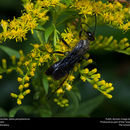 Image of Great Black Wasp