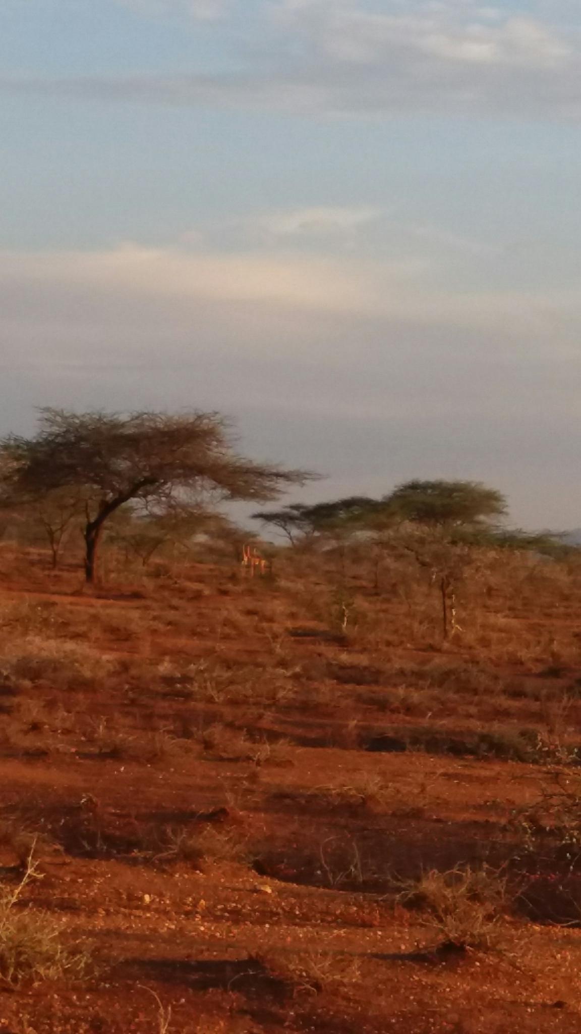 Image of Gerenuk