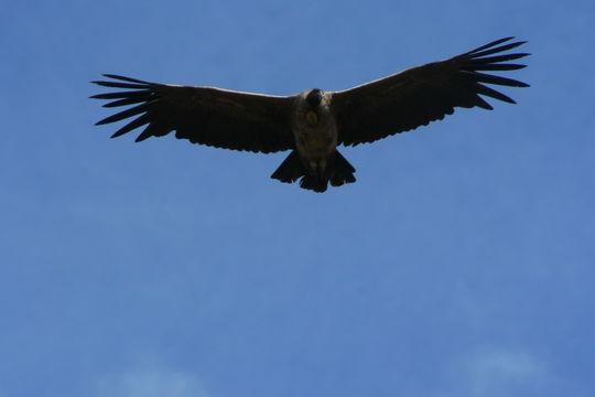 Image of Andean Condor