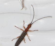 Image of <i>Syllitus rectus</i> (Newman 1841)