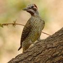 Image of Bennett's Woodpecker