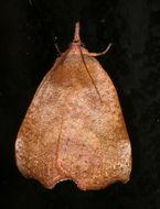 Image of <i>Hyblaea ibidias</i> Turner 1902