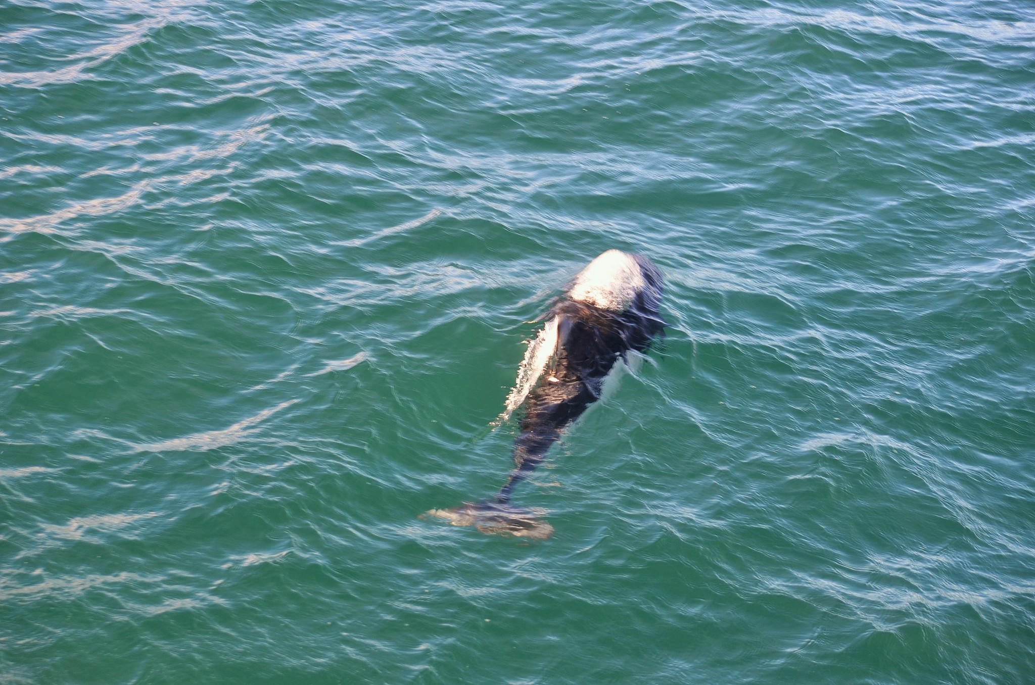 Image of Dall's Porpoise