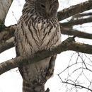 Image of Ural owl