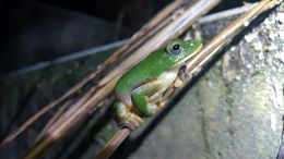 Image of Taipei Green Tree Frog