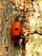 Image of <i>Endomychus biguttatus</i> Say 1824