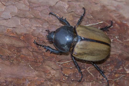 Image of <i>Eupatorus gracilicornis</i>