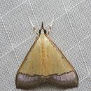 Image of <i>Pseudonoorda nigropunctalis</i> Hampson 1899