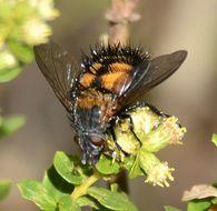 Image of <i>Paradejeania rutilioides</i> ssp. <i>nigrescens</i> Arnaud 1951