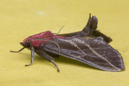 Image of <i>Toccolosida rubriceps</i> Walker 1863