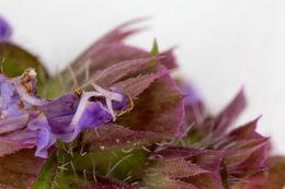 Image of <i>Prunella vulgaris</i>