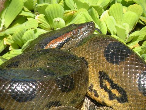 Image of Green anaconda