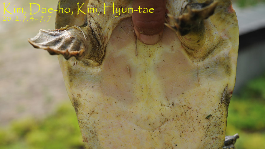 Image of Northern Chinese softshell turtle