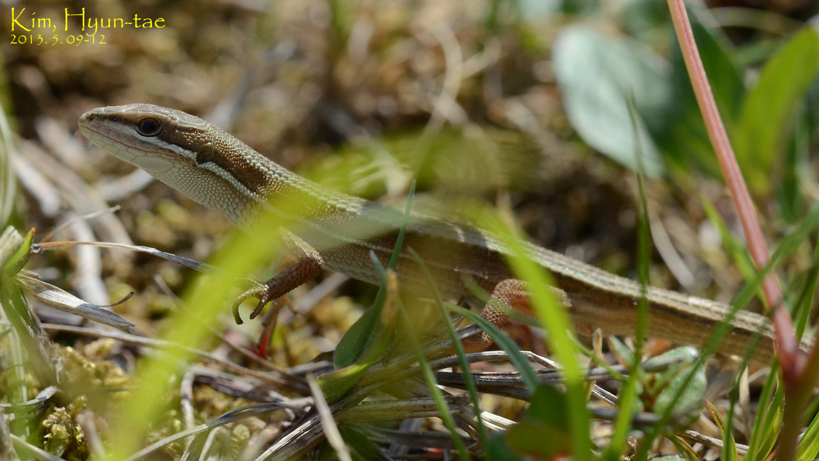 Image of Mountain grass lizard