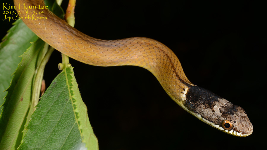 Image of Chinese Many-tooth Snake