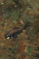 Image of eyelight fish