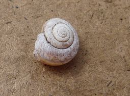 Image of Banded Dune Snail