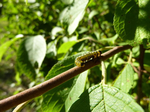Image of Currantworm