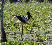 Image of Black-necked stork