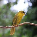 Image of Olive-green Tanager