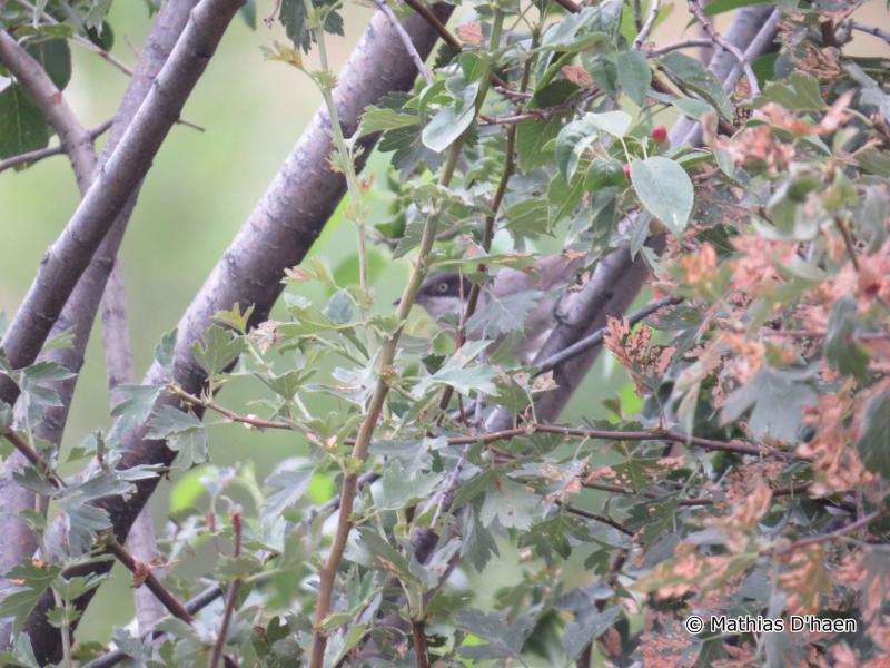 Image of Eastern Orphean Warbler