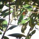 Image of Red-headed Lovebird