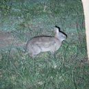 Image of Bunyoro Rabbit