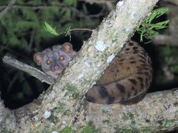 Image of African Palm Civet