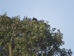 Image of White-headed Vulture