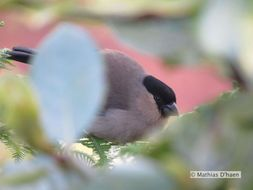 Image of Azores Bullfinch