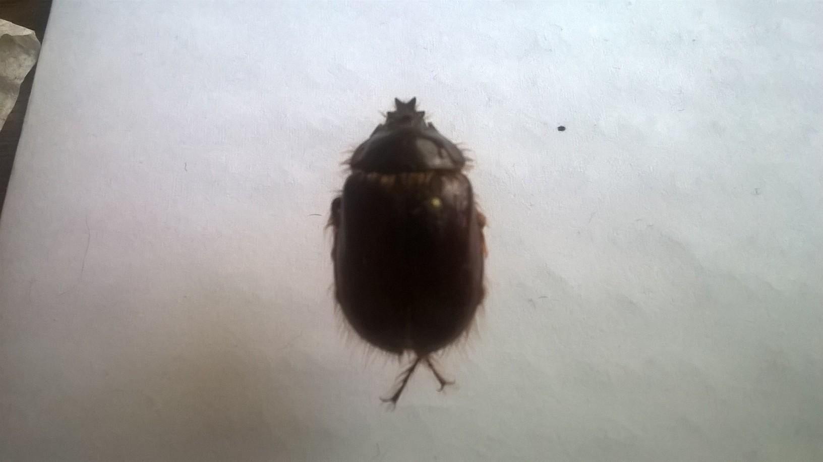 Image of <i>Pleocoma linsleyi</i> Hovore 1971