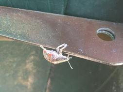 Image of <i>Gonipterus scutellatus</i>
