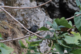 Image of White-throated Fantail