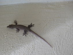 Image of Saint George Island Gecko