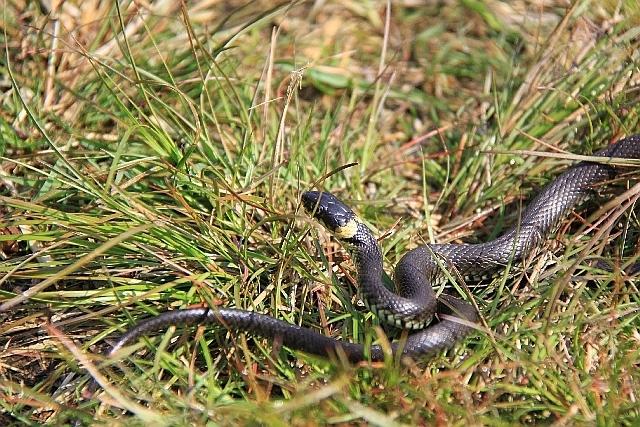 Image of Grass Snake