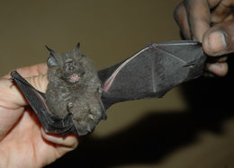 Image of Willard's Horseshoe Bat