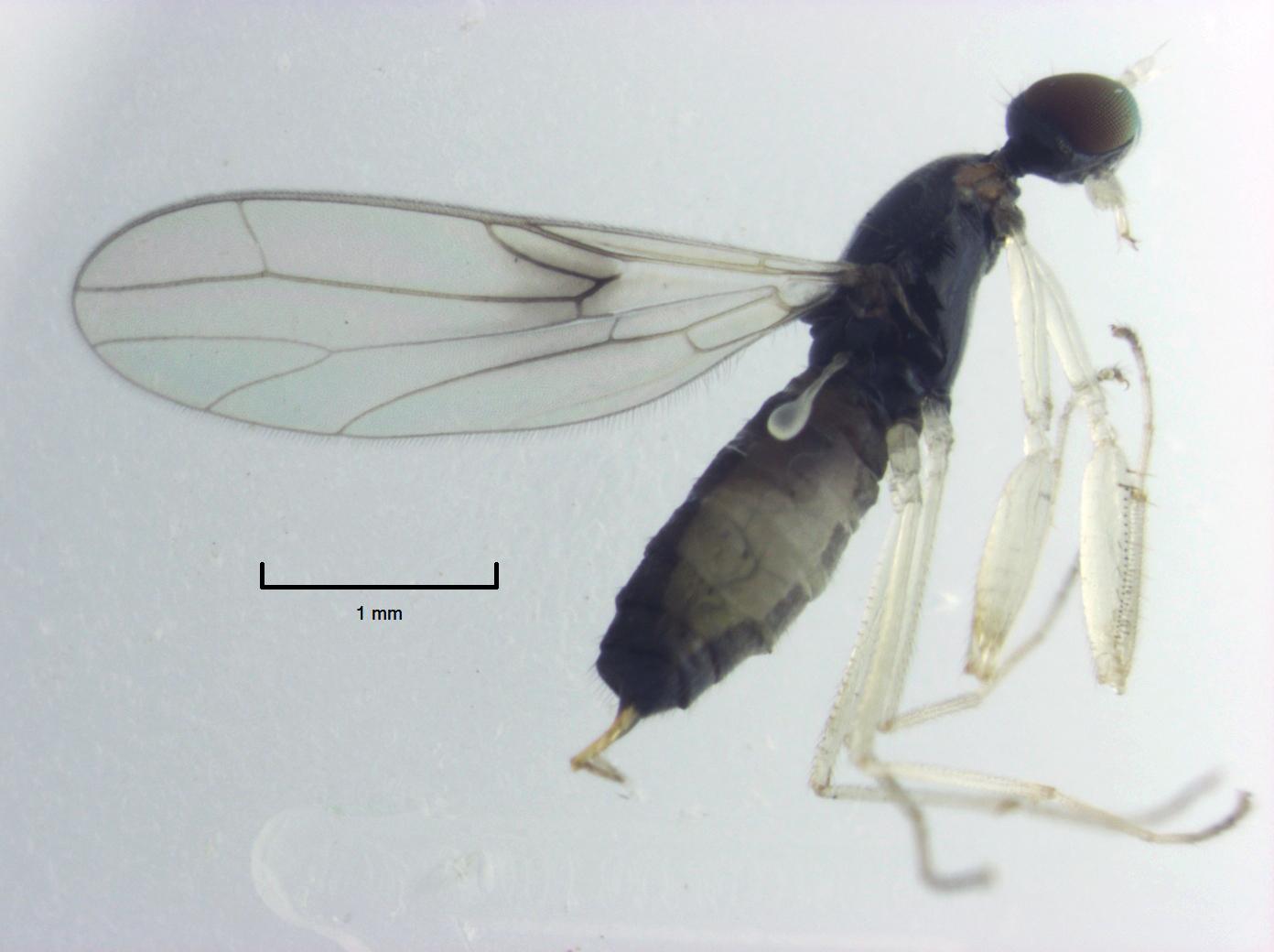 Image of <i>Antipodromia radialis</i>