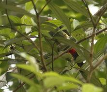 Image of Guianan Toucanet