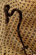 Image of MacDougall's Graceful Brown Snake