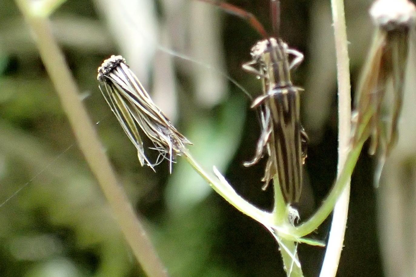 Image of <i>Hippopsis quinquelineata</i> Aurivillius 1920