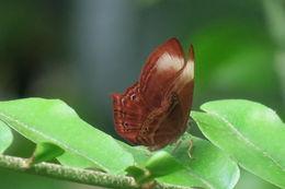 Image of <i>Abisara saturata kausambioides</i>