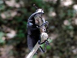 Image of <i>Cactophagus spinolae validus</i>