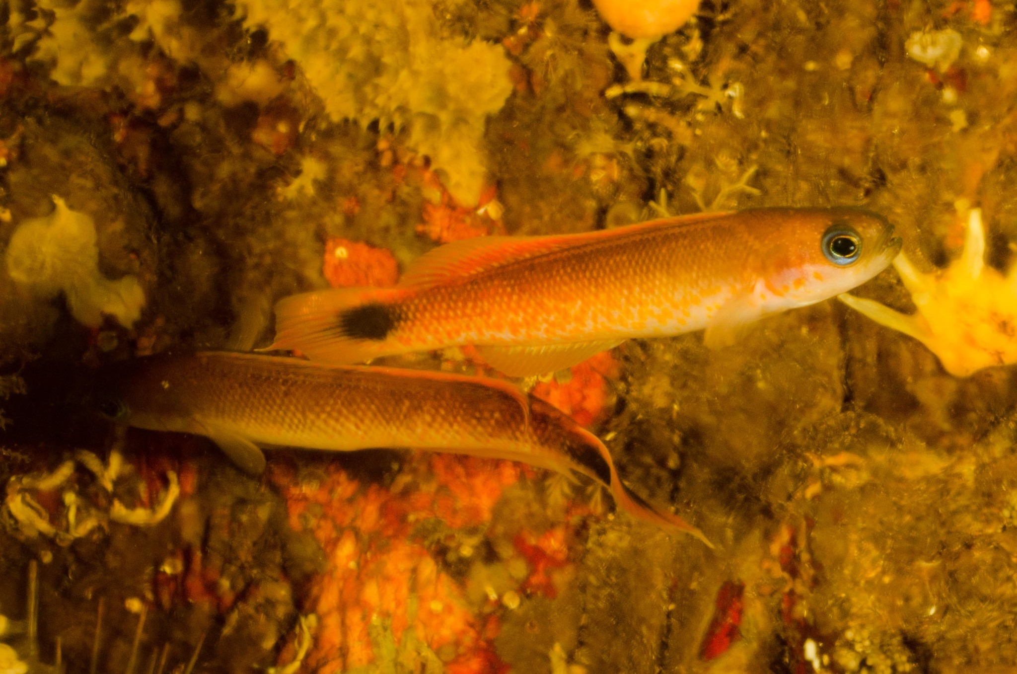 Image of Blotched-tailed trachinops