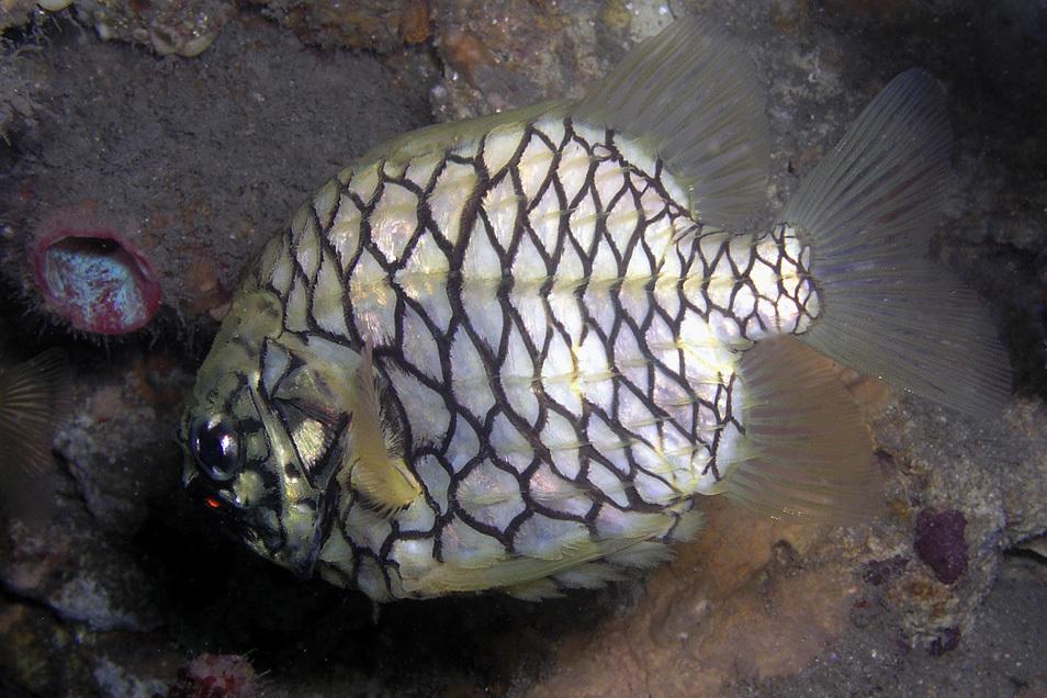 Image of Pineapplefish