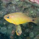Image of Capricorn cardinalfish