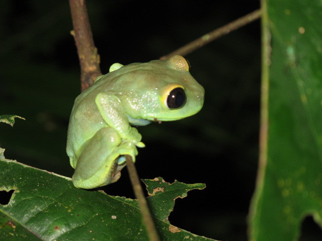 Image of Uluguru forest tree frog