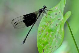 Image of <i>Thaumatoneura inopinata</i> Mc Lachlan 1897
