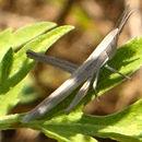 Image of <i>Pseudopomala brachyptera</i> (Scudder & S. H. 1862)