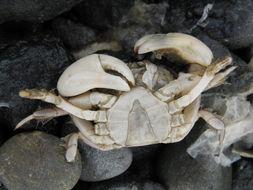 Image of <i>Hemigrapsus crenulatus</i> (H. Milne Edwards 1837)