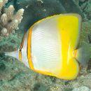 Image of Margined Coralfish